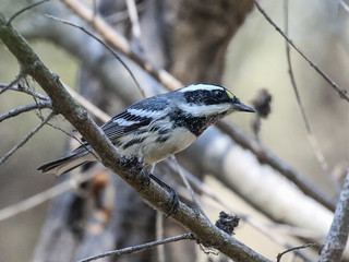 Black-throated Gray Warbler, Setophaga nigrescens