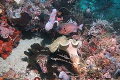 Big Eye fish (sarah.handebeaux) Tags: raja ampat indonesia diving reef