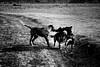 Swaziland: Dog eat dog (rvjak) Tags: swaziland dog chien fight combat afrique africa black white bx noir blanc d200 nikon dust poussière bw contrast bite