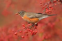 American Robin (www.studebakerstudio.com) Tags: american robin americanrobin bird songbird eating berries red wildlife nature ohio studebaker passerine