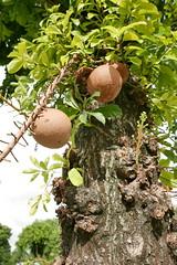 cannonball tree (DOLCEVITALUX) Tags: cannonballtree cannonballflower flower flowers flora fauna philippines lumixlx100 panasoniclumixlx100