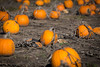 Pumpkin Patch (Phil Roeder) Tags: madrid iowa pumpkin pumpkins pumpkinpatch orange rural field canon6d canonef70200mmf4lusm