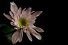 Chrysanthemum (Magda Banach) Tags: canon chrysanthemum blackbackground colors flora flower garden macro nature october plants saveearth