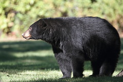 Black bear (jlcummins - Washington State) Tags: fortsimcoestatepark yakimacounty washingtonstate bear mammal wildlife nature