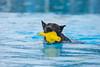 Hund im Freibad (Maria Zielonka) Tags: hund im freibad roland oase hunde schwimmen schwimmbad schäferhund holländischer dutch shepherd hollandse herder herdershond