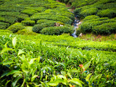 Boh Tea Gardens (whitworth images) Tags: stream teaplantation landscape asia highlands nature southeastasia teagardens colonial cameronhighlands brinchang scenic tea plantation agriculture horticulture crop tanahrata steep teaestate green camellia hills outdoors bohteaestate malaysia pahang hilly camelliasinensis