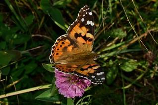painted lady , Vanessa cardui , Дяволска пеперуда DSC_0171