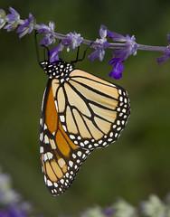 Monarch, female (Danaus plexippus) (AllHarts) Tags: femalemonarchdanausplexippus dixongardens mysticspires memphistn naturescarousel naturesspirit thesunshinegroup sunrays5 challengeclubchampions butterflygallery