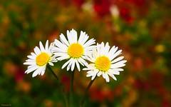 trio d'automne (YᗩSᗰIᘉᗴ HᗴᘉS +9 500 000 thx❀) Tags: flower trio trois three flora fleur daisy daisies macro autumn colour hensyasmine