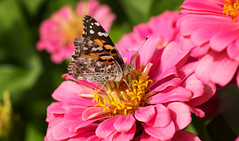 Painted Lady (Black Hound) Tags: sony a65 tamron longwoodgardens flower butterfly paintedlady macro