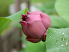Nelumbo nucifera 'Red Narita' Lotus 002 (Klong15 Waterlily) Tags: rednarita lotus scaredlotus nelumbo nelumbonucifera redlotus lotusthai thailotus