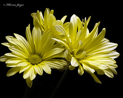 A Touch of Yellow 1024 Copyrighted (Tjerger) Tags: nature beautiful beauty black blackbackground bloom blooming blooms closeup daisies daisy fall flora floral flower flowers green macro plant portrait three trio white wisconsin yellow touch atouchofyellow natural