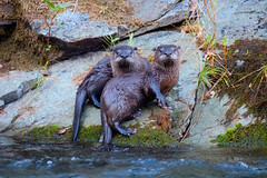Posing for the camera (FISH-BIO) Tags: otters clearcreekotters clearcreek otterfamily otterscatchingfish catchingfish theoutdoors wildlife