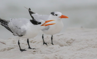 Food Please! (Royal Terns)