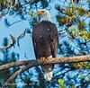 "Bald Eagle (jimgspokane) Tags: idahostate birds birdwatcher birdsofprey eagles forests ""nikonflickraward"" naturewatcher otw"