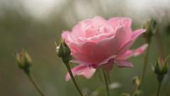 Pink Dream (Stefan Zwi.) Tags: rose macro flower pink dream rosa ngc npc