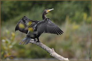 N° 808 / Grand Cormoran ( Phalacrocorax carbo ) Focus Distance - 19.95 m