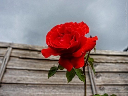 A red rose in its glory
