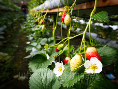 Strawberry farm (whitworth images) Tags: lines hothouse rows shelves southeastasia cameronhighlands brinchang flower red malaysia racks agriculture greenhouse hydroponic elevated farm fruit hothouses asia green horticulture pahang strawberry
