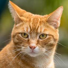 Ginger Nut (RussellK2013) Tags: cat portrait animalplanet animal animalportrait feline wildlife creature pet nikon nikkor nature ngc nationalgeographicwildlife 300mmf4epfedvr 300mm prime d500 mammal
