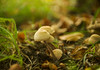 mushrooms (paul hitchmough photography 2) Tags: mushroom nature green grass macro nikond800 nikonphotograhy nikon2470mm paulhitchmoughphotography liverpool boken
