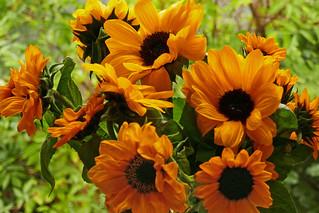 511 Sonnenblumen (Explore 02/10/2017)