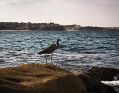 Ocean (Kris Carmody) Tags: ocean rocks bird water lightroom polarr