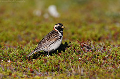 Lapland Longspur and tundra (Explored 11/4/17) (Cameron Darnell) Tags: lapland longspur nome alaska ak wild wildlife tundra north northern light green bird birds birding avian photo photography cameron tamron canon 2017 summer