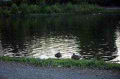 DSC_4111-Edit (andrealf) Tags: altonbakerpark eugene oregon ducks