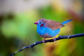 Red cheeked Cordon blue (m)