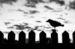 crow (auntneecey) Tags: crow blackandwhite moody silhoutte 365the2017edition 3652017 day277365 4oct17 odc standorstanding