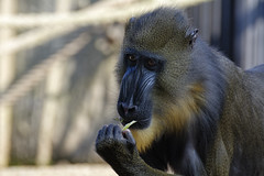 Clutching At A Straw (Alfred Grupstra) Tags: animal wildlife primate mammal monkey africa nature animalsinthewild ape baboon endangeredspecies animalhair safarianimals closeup outdoors looking mother younganimal zoo oneanimal mandrill amsterdam artis