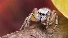 Habronattus decorus jumping spider (Tibor Nagy) Tags: habronattus decorus spider jumper jumpingspider salticid salticidae arachnid arthropod closeup flash diffused diffuser softbox macro