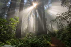 Spotlight (michael ryan photography) Tags: delnortecoastredwoodsstatepark delnorte crescentcity redwoodnationalpark fog mist california northerncalifornia damnation lightbeams light godrays morning sunrise trail calparks californiastateparksfoundation redwoods trees beams michaelryanphotography