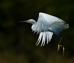 Snowy Egret (KoolPix) Tags: bird mnsa marinenaturestudyarea koolpix jaykoolpix naturephotography nature wildlife wildlifephotos naturephotos naturephotographer animalphotographer wcswebsite nationalgeographic fantasticnature amazingnature wonderfulbirdphotos animal amazingwildlifephotos fantasticnaturephotos incrediblenature naturephotographywildlifephotography wildlifephotographer mothernature beak feathers egret snowy snowyegret bif birdinflight wings flying flight