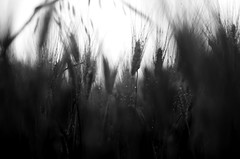 blackandwhite (Stefano Rugolo) Tags: stefanorugolo pentax k5 smcpentaxm50mmf17 blackandwhite black white monochrome wheat perspective field depthoffield italy lazio bokeh abstract blur