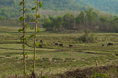 2017_04_26LuangPrabang184 (Andi [アンデイ]) Tags: laos travel travelphotography street streetphotography seasia southeastasia lao newyear savhannaket vientiane vangvieng luangprabang canon sigma sigmaa nature village rural buddhism