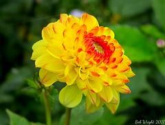 Late Summer Dahlia (Bob.W) Tags: dahlia attinghampark shrewsbury shropshire ngc npc coth5