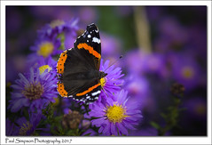 Red Admiral (Paul Simpson Photography) Tags: butterfly butterflies nectar paulsimpsonphotography nature naturephotography imagesof imageof photoof photosof insect colour flower sonya77 sonyphotography wings autumn fall october plant plants uk england vanessaatalanta flowering