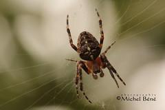 faut réparer les dégats de la toile (studio gimi) Tags: macro grosplan proxy profondeurdechamp planrapproché araignée spider canoneos sigma105mm