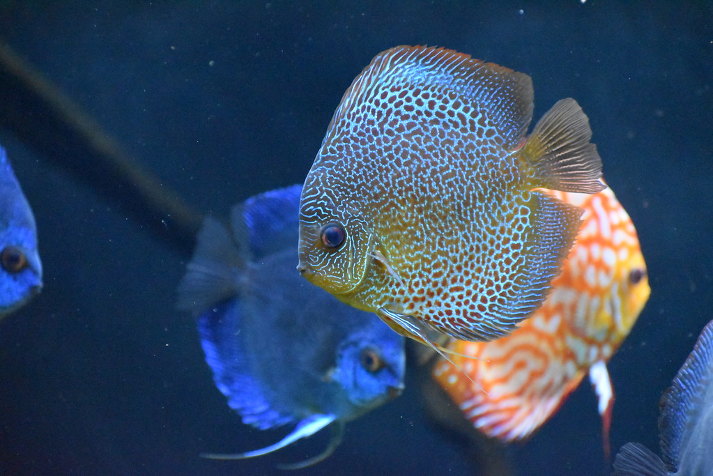 Cobalt blue discus fish