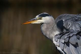 Grey Heron Portrait 84269