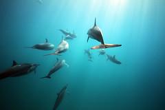 sIMG_3871 (Aaron Lynton) Tags: dolphin dolphins spinnerdolphins spl waterhousing maui hawaii underwater canon 7d diving onebreath apnea joy friends fu fun