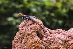 AGAMA SU UN TERMITAIO    ----    AGAMA ON THE TERMITE (Ezio Donati is ) Tags: animali animals foresta forest agama termitaio termite africa costadavorio domainebiniarea