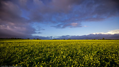 Kein Raps / no rapeseed (H. Roebke (offline for a while)) Tags: canon1635mmf28lisiii de canon5dmkiv landscape landschaft nature himmel germany natur acker kronsberg 2017 niedersachsen farbe color sky feld gelb yellow lightroom weisersenf