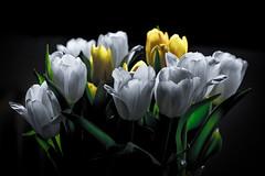 In Bloom (drugodragodiego) Tags: flowers tulips stilllife fiori naturamorta pentax pentaxk3 k3 pentaxiani smcpentaxda50135mmf28edifsdm pentaxda50135mmf28