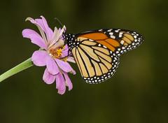 Monarch, male (Danaus plexippus) (AllHarts) Tags: malemonarchdanausplexippus dixongardens zinnia memphistn naturesspirit thesunshinegroup naturescarousel ngc npc butterflydreams butterflygallery