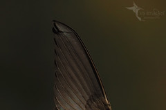 Wing in fast flight (VS Images) Tags: bif birdsinflight flight wing birds bird birding feathers wildlife wildlifephotography animals avian getolympus m43 australianbirds australia nsw nature ngc naturephotography vassmilevski vsimages olympusomdem1mkii mzuiko300mmf4pro omd em1mkii 300mm olympus olympusau fairymartin petrochelidonariel hirundinidae swallowsinflight