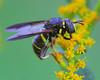 Spilomyia Syrphid Fly (milesizz) Tags: spilomyiasayi diptera milwaukee wisconsin wi aschiza syrphidae syrphidflies eristalinae milesiini