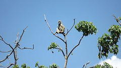 """Yellow Baboon • <a style=""""font-size:0.8em;"""" href=""""http://www.flickr.com/photos/152934089@N02/37615023521/"""" target=""""_blank"""">View on Flickr</a>"""